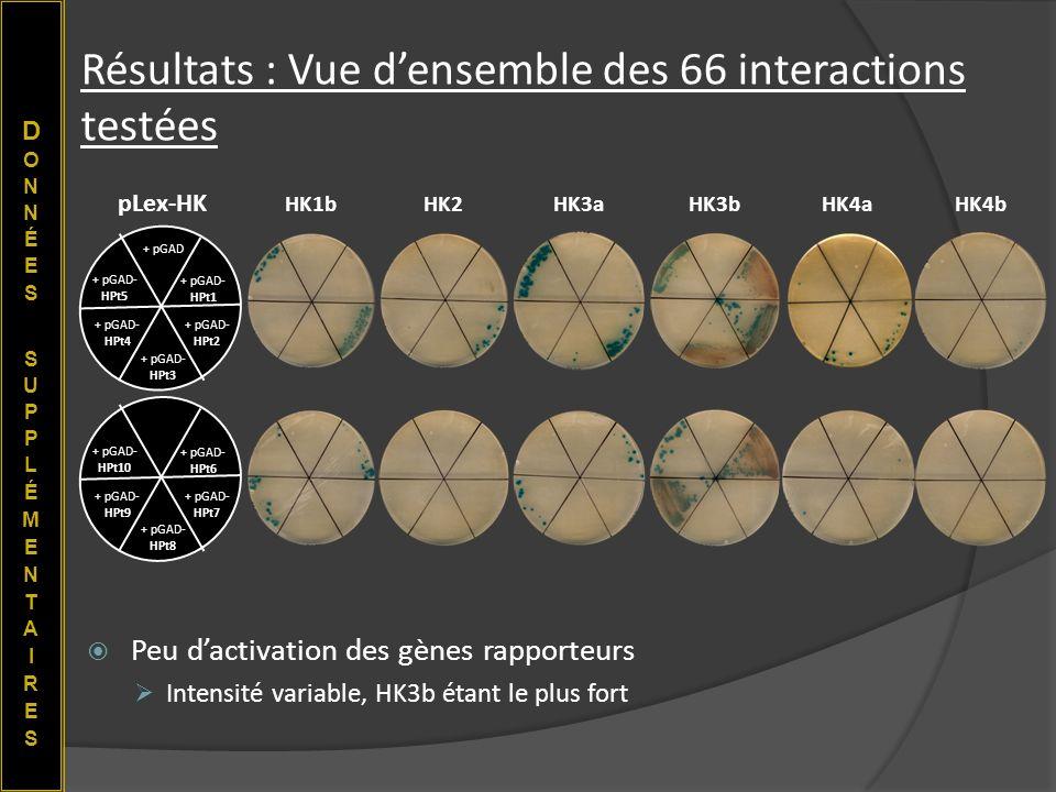 Résultats : Vue densemble des 66 interactions testées Peu dactivation des gènes rapporteurs Intensité variable, HK3b étant le plus fort HK1bHK2HK3aHK3