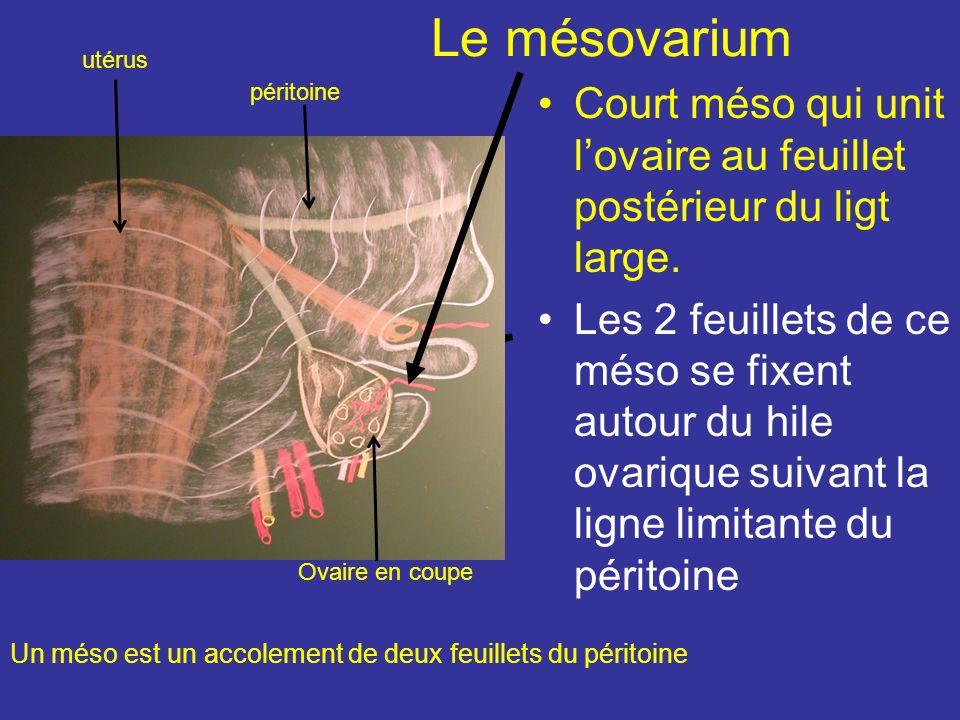 3) Le ligament propre de lovaire Cordon long de 30 mm, naît de la corne utérine en Arr et au dessous de la trompe et se fixe au pôle utérin de lovaire