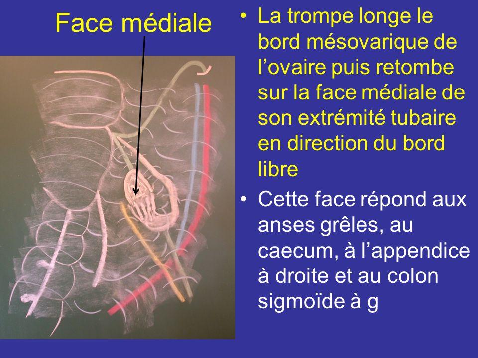 Face latérale Chez la multipare Lovaire prolabé dans la fosse infra-ovarique répond: En Av à luretère et à lart utérine En Arr au bord du sacrum En bas au bord sup du Mm piriforme Dans le tissu cellulaire sous péritonéal cheminent les vx et les N glutéaux sup