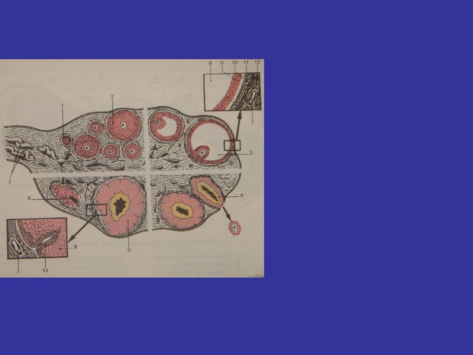 STRUCTURE Lépithélium superficiel La tunique albuginée Le stroma ovarique Le cortex ovarique La médulla ovarique Une coupe transversale de lovaire met en évidence 2 zones 1 périphérique = le cortex 1 centrale la médulla Lovaire nest pas recouvert de péritoine mais dun épithélium superficiel.