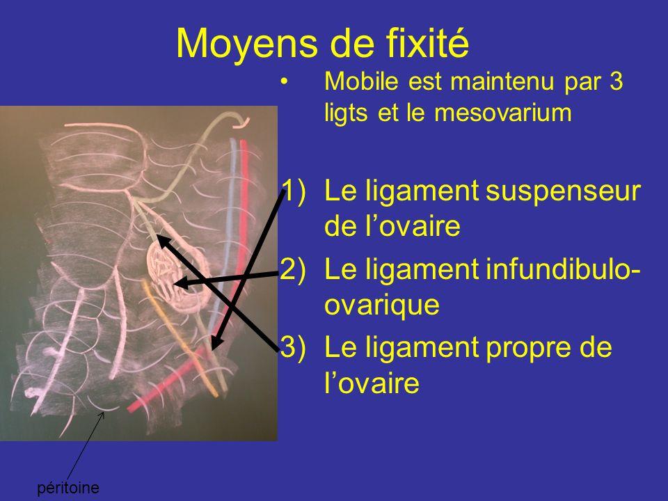 Moyens de fixité Mobile est maintenu par 3 ligts et le mesovarium 1)Le ligament suspenseur de lovaire 2)Le ligament infundibulo- ovarique 3)Le ligament propre de lovaire péritoine