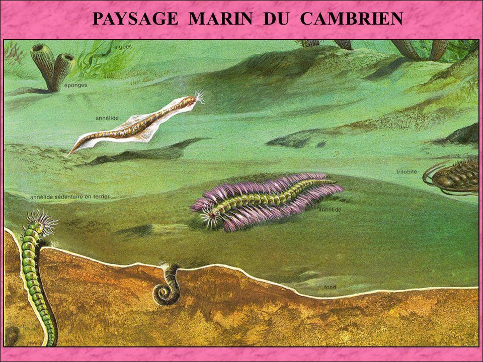 LE CAMBRIEN : 570 à 500 Millions dannées On voit apparaître au Cambrien les premières formes de vies complexes, cest à dire les métazoaires (Animaux constitués de plusieurs cellules).