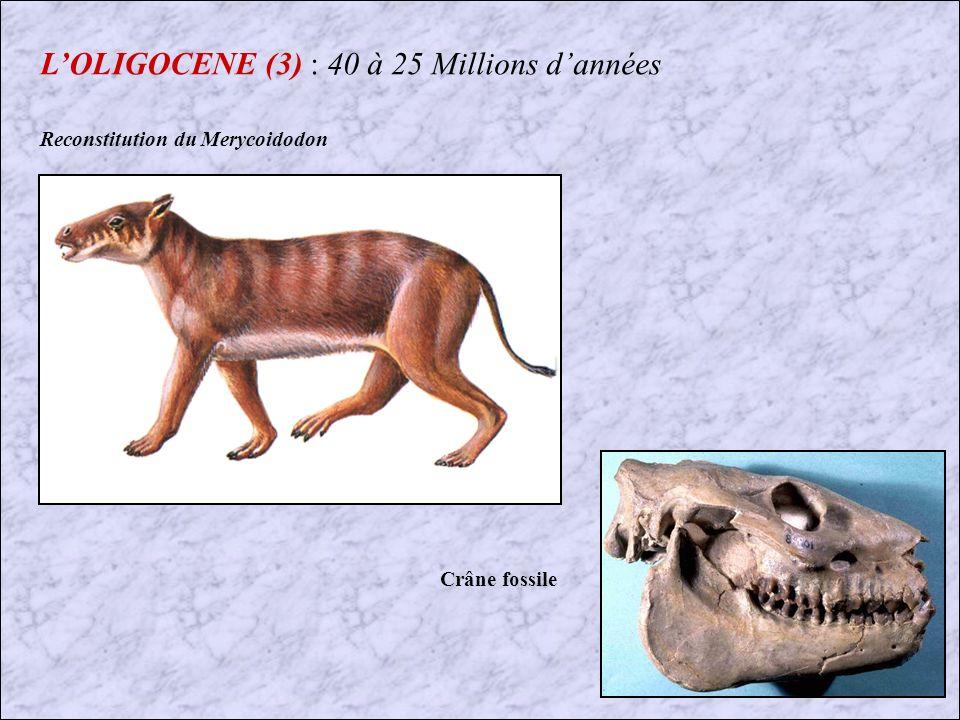 LOLIGOCENE (2) : 40 à 25 Millions dannées Dans le Nord et Sud Dakota (USA), on trouve une des plus importantes faune de Mammifères de lOligocène.
