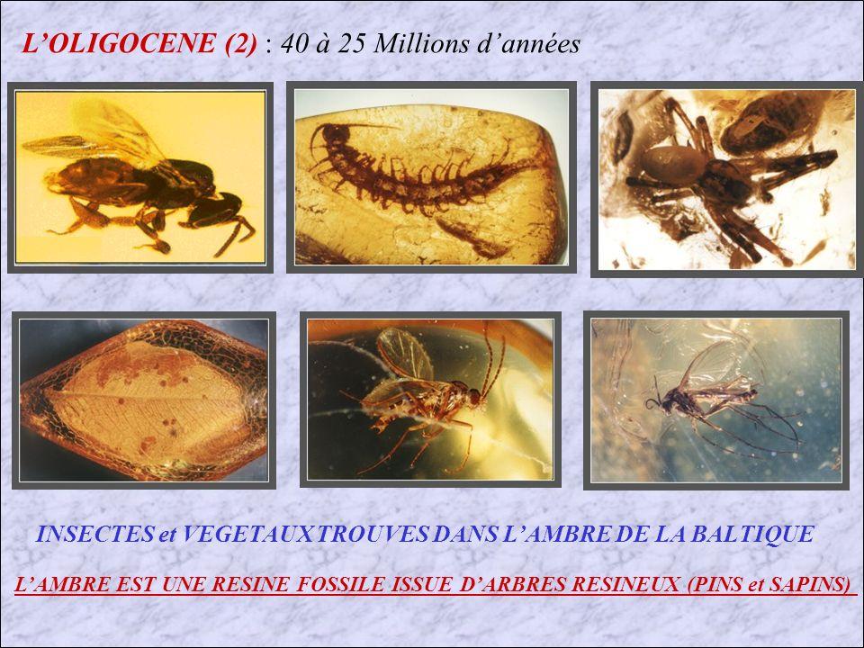 LOLIGOCENE (3) : 40 à 25 Millions dannées Reconstitution du Merycoidodon Crâne fossile
