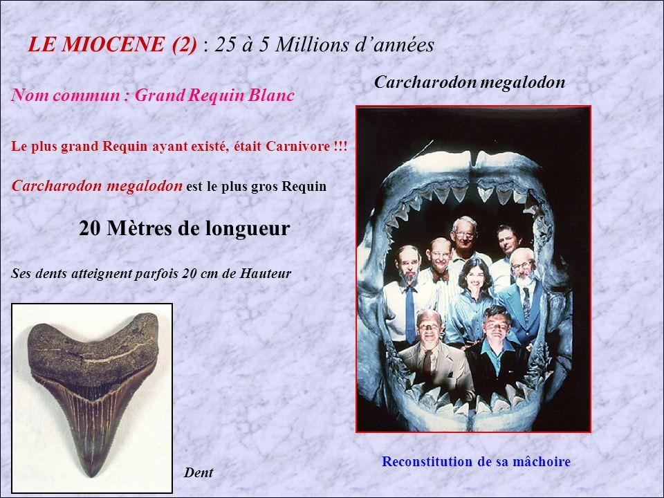 LE MIOCENE : 25 à 5 Millions dannées Cest au Miocène que les Grandes Lignées modernes apparaissent : 1er Mastodonte Les faunes marines se renouvellent presque complètement, et persistent jusquà lactuel.