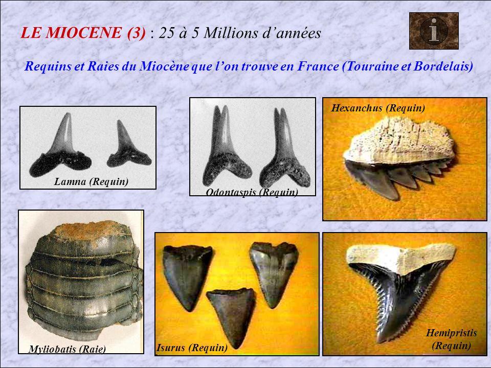 LE MIOCENE (2) : 25 à 5 Millions dannées Carcharodon megalodon Dent Le plus grand Requin ayant existé, était Carnivore !!.