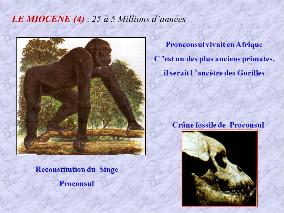 LE MIOCENE (3) : 25 à 5 Millions dannées Hexanchus (Requin) Hemipristis (Requin) Isurus (Requin) Requins et Raies du Miocène que lon trouve en France (Touraine et Bordelais) Myliobatis (Raie) Lamna (Requin) Odontaspis (Requin)