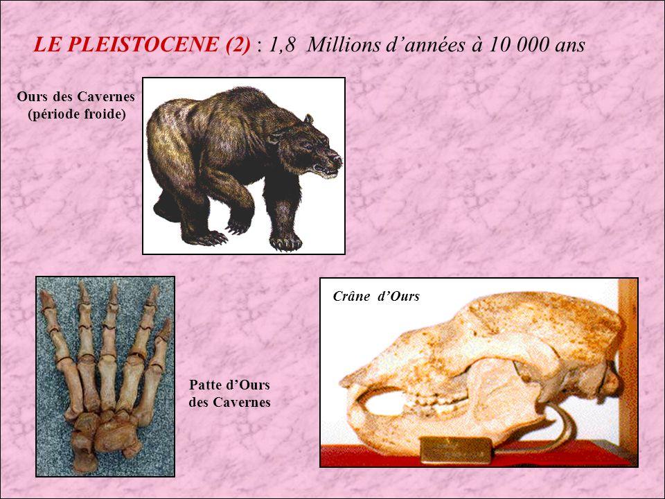 LE PLEISTOCENE : 1,8 Millions dannées à 10 000 ans Mammouth laineux (période froide) Molaire de Mammouth