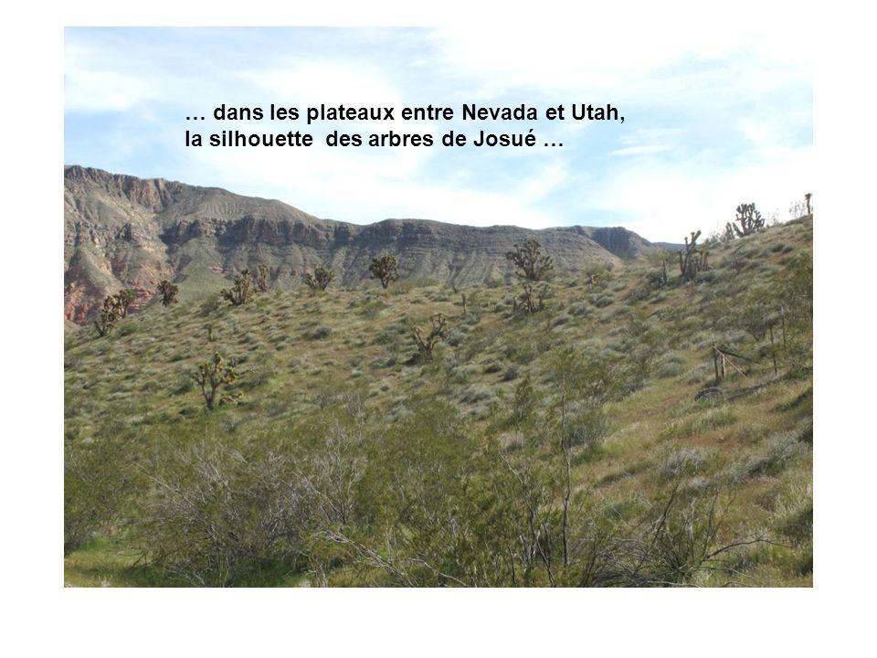 … dans les plateaux entre Nevada et Utah, la silhouette des arbres de Josué …