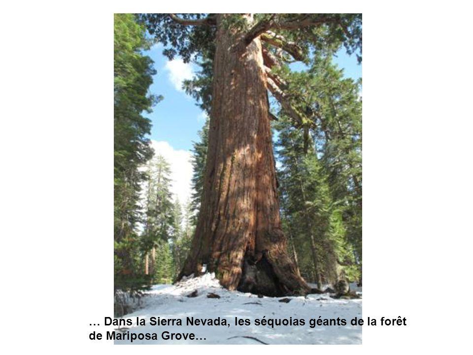 … Dans la Sierra Nevada, les séquoias géants de la forêt de Mariposa Grove…