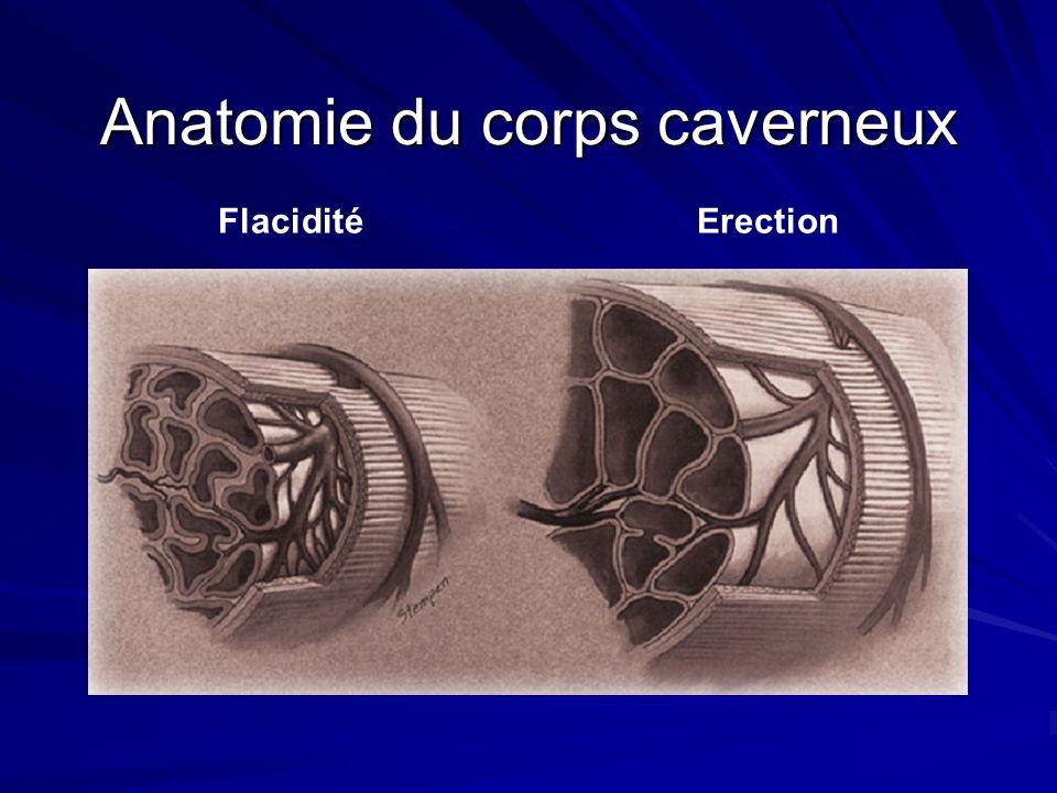 Anatomie du corps caverneux FlaciditéErection