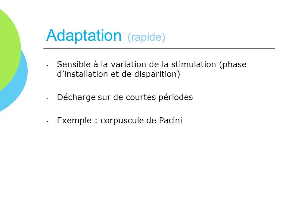 Adaptation (rapide) - Sensible à la variation de la stimulation (phase dinstallation et de disparition) - Décharge sur de courtes périodes - Exemple :