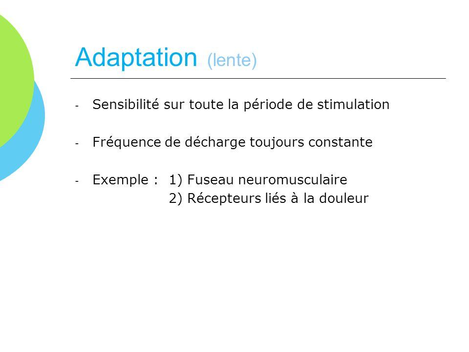Adaptation (lente) - Sensibilité sur toute la période de stimulation - Fréquence de décharge toujours constante - Exemple : 1) Fuseau neuromusculaire