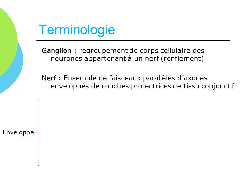 Terminologie Ganglion : Ganglion : regroupement de corps cellulaire des neurones appartenant à un nerf (renflement) Nerf Nerf : Ensemble de faisceaux