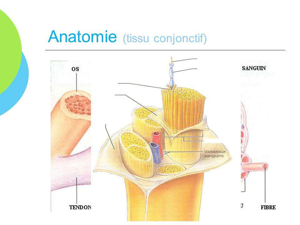 Anatomie (tissu conjonctif)