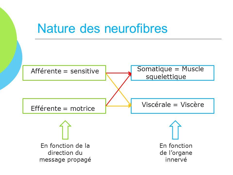 Nature des neurofibres Afférente = sensitive Efférente = motrice Somatique = Muscle squelettique Viscérale = Viscère En fonction de la direction du me