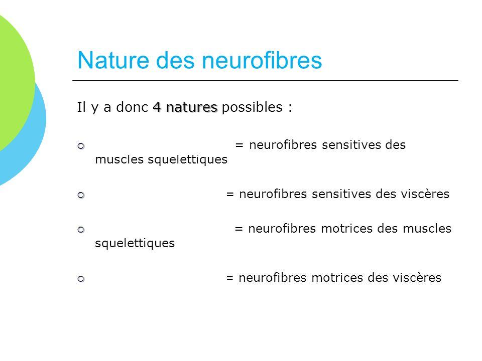 Nature des neurofibres 4 natures Il y a donc 4 natures possibles : Afférentes somatiques Afférentes somatiques = neurofibres sensitives des muscles sq