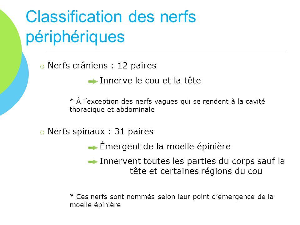 Classification des nerfs périphériques o Nerfs crâniens : 12 paires Innerve le cou et la tête * À lexception des nerfs vagues qui se rendent à la cavi