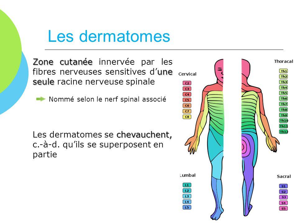 Les dermatomes Zone cutanée une seule Zone cutanée innervée par les fibres nerveuses sensitives dune seule racine nerveuse spinale Nommé selon le nerf