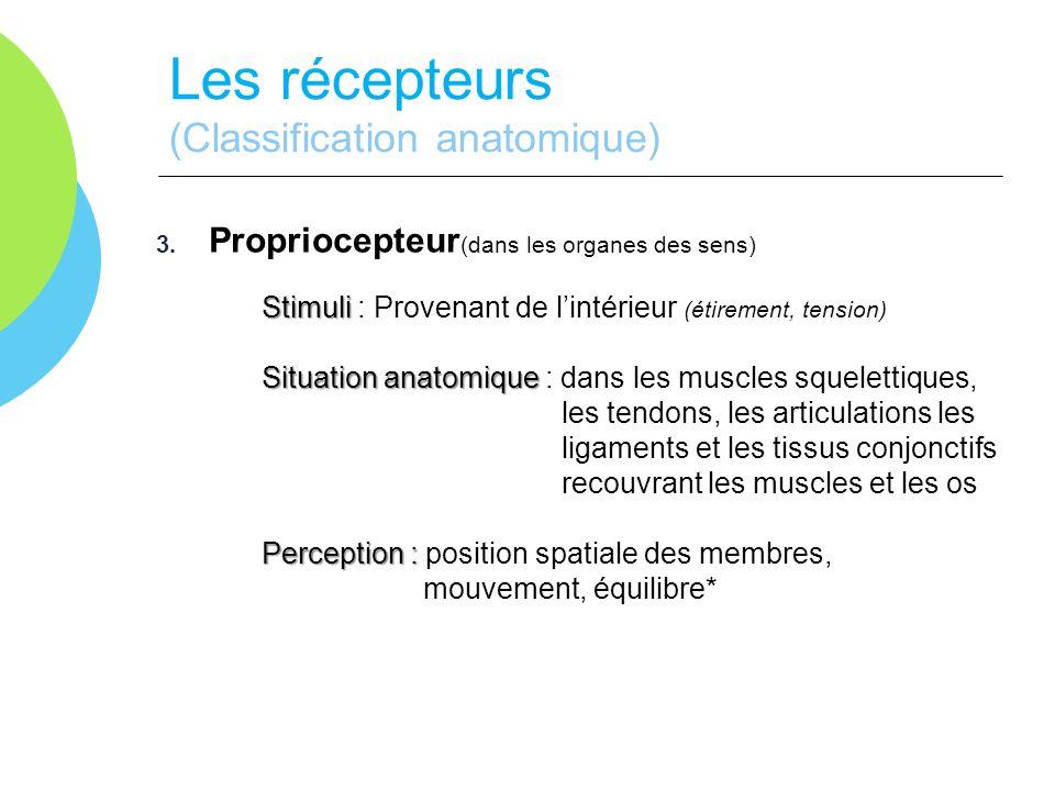 Les récepteurs (Classification anatomique) 3. Propriocepteur (dans les organes des sens) Stimuli Stimuli : Provenant de lintérieur (étirement, tension