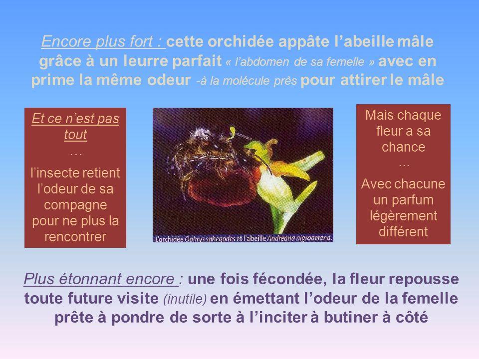 Encore plus fort : cette orchidée appâte labeille mâle grâce à un leurre parfait « labdomen de sa femelle » avec en prime la même odeur -à la molécule près pour attirer le mâle Plus étonnant encore : une fois fécondée, la fleur repousse toute future visite (inutile) en émettant lodeur de la femelle prête à pondre de sorte à linciter à butiner à côté Et ce nest pas tout … linsecte retient lodeur de sa compagne pour ne plus la rencontrer Mais chaque fleur a sa chance … Avec chacune un parfum légèrement différent