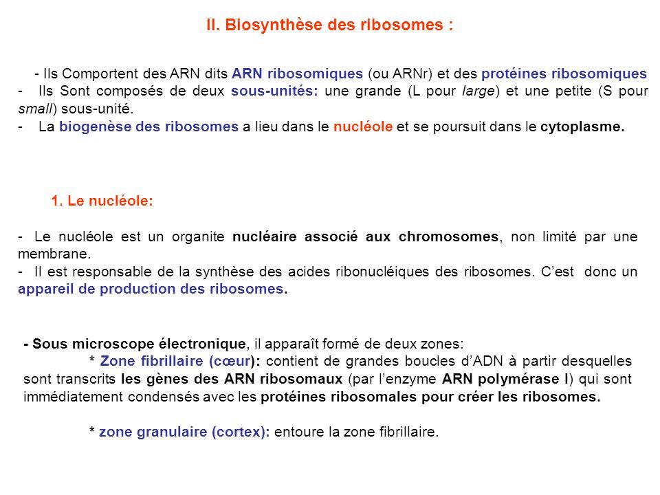 ARN nucléolaire (45 S) ARN extranucléolaire (5 S) Protéines cytoplasmiques Enzymes.
