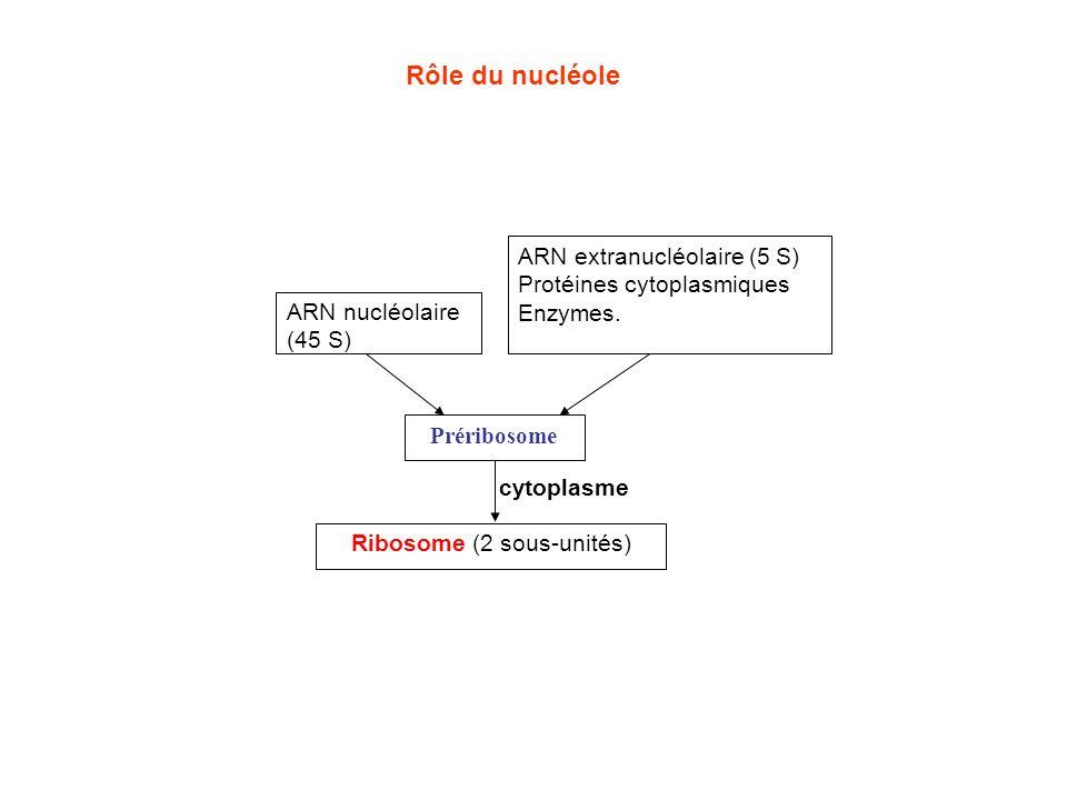 Organisateur nucléolaire nucléoplasme hyaloplasme 41 S 28 S 5,8 S 18 S Zone granulaire Zone fibrillaire du nucléole ADN du chromosome nucléaire transcription 45 S 1 32 S 20 S protéine L protéine S 3 Gène 5 S 4 5 S préribosome 80 S 5 6 Le transport et lactivation produisent des ribosomes fonctionnels 5 S 5,8 S 28 S ARNr 18 S + 30 Prot.