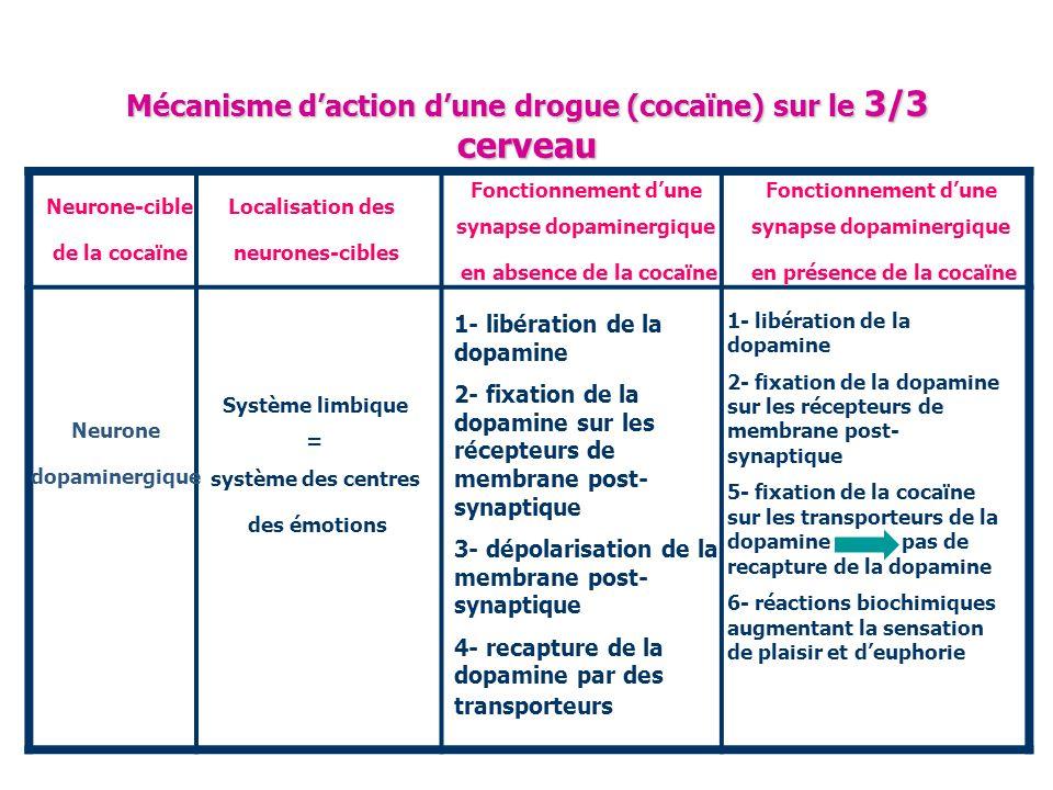 Mécanisme daction dune drogue (cocaïne) sur le 3/3 cerveau Neurone-cible de la cocaïne Neurone dopaminergique Localisation des neurones-cibles Système