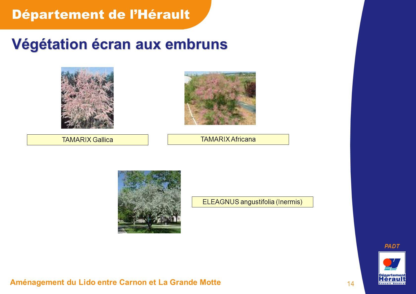 PADT Département de lHérault Aménagement du Lido entre Carnon et La Grande Motte 14 Végétation écran aux embruns ELEAGNUS angustifolia (Inermis) TAMARIX Gallica TAMARIX Africana