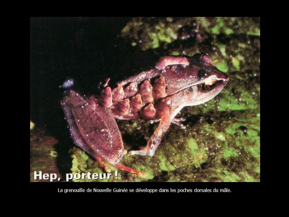 Au terme de lincubation, le male hippocampe expulse, lors de violentes contractions, 200 petits…
