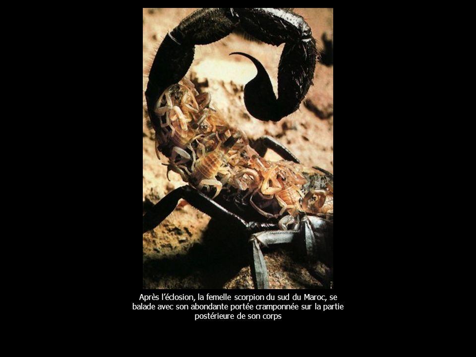 La grenouille de Nouvelle Guinée se développe dans les poches dorsales du mâle.