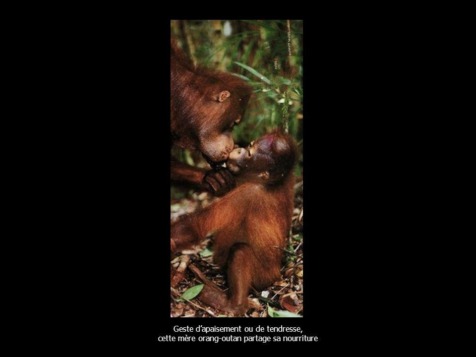 Geste dapaisement ou de tendresse, cette mère orang-outan partage sa nourriture
