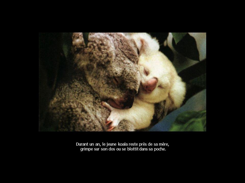 Durant un an, le jeune koala reste près de sa mère, grimpe sur son dos ou se blottit dans sa poche.