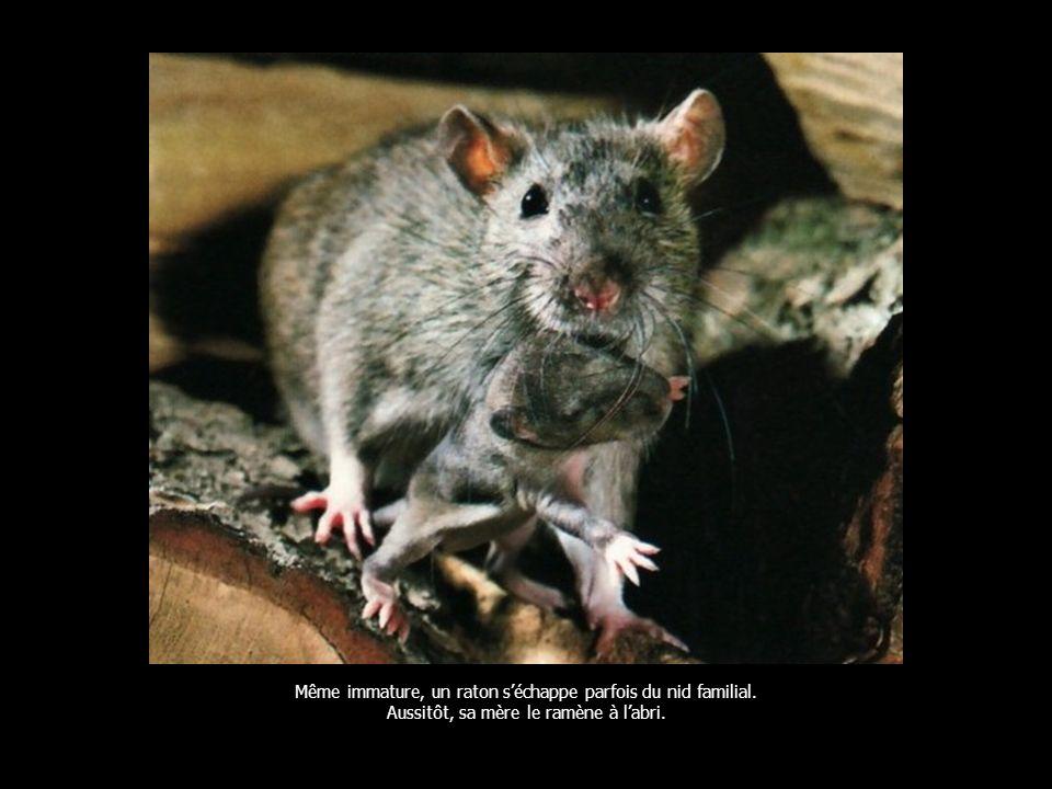Même immature, un raton séchappe parfois du nid familial. Aussitôt, sa mère le ramène à labri.
