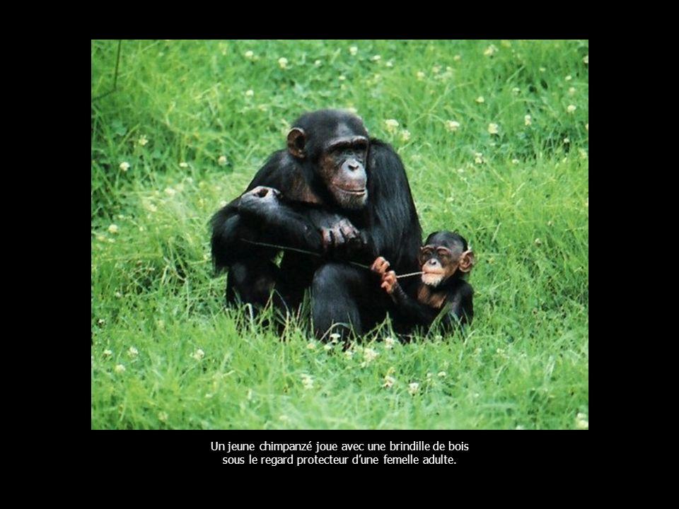 Un jeune chimpanzé joue avec une brindille de bois sous le regard protecteur dune femelle adulte.
