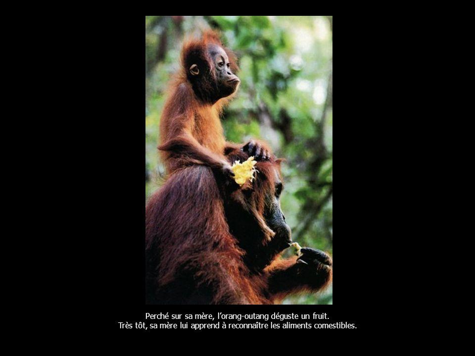 Perché sur sa mère, lorang-outang déguste un fruit.