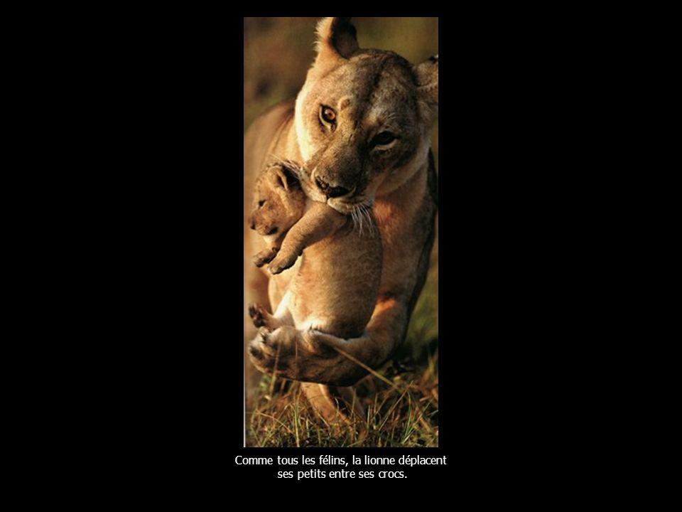 Comme tous les félins, la lionne déplacent ses petits entre ses crocs.