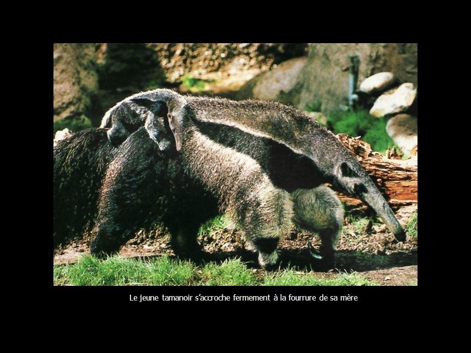 Le jeune tamanoir saccroche fermement à la fourrure de sa mère