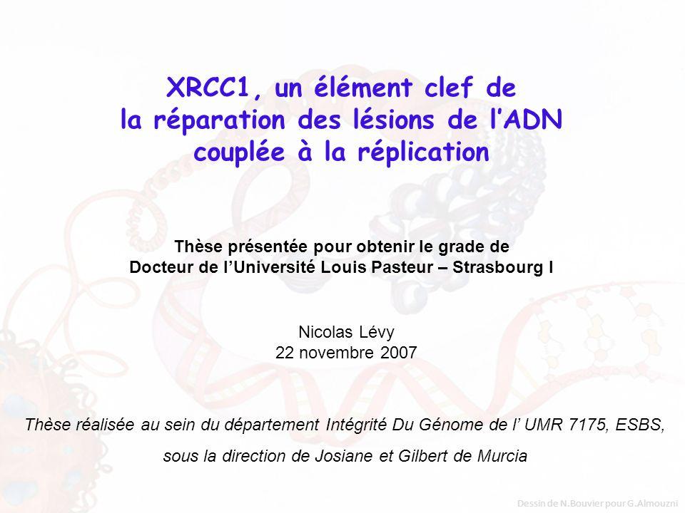 Réparation des cassures double-brin de lADN (DSBR) par NHEJ Reconnaissance du DSB par Ku70/Ku80, sous-unités de DNA-PK Fixation de DNA-PKcs, assemblage de lholoenzyme DNA-PK Alignement des deux extrémités de la lésion Ligation finale des deux extrémités de la cassure double-brin Helleday et al., DNA Repair, 2007 DNA-PK DNA-PKcs LigIV/XRCC4/XLF Ku70/Ku80