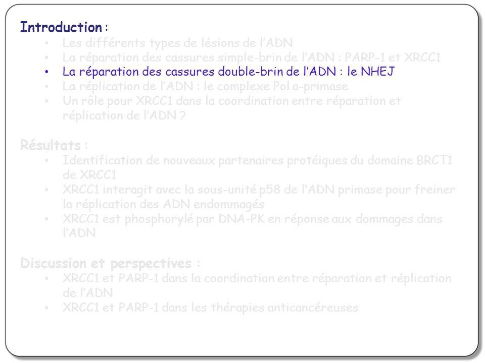 Introduction : Les différents types de lésions de lADN La réparation des cassures simple-brin de lADN : PARP-1 et XRCC1 La réparation des cassures dou