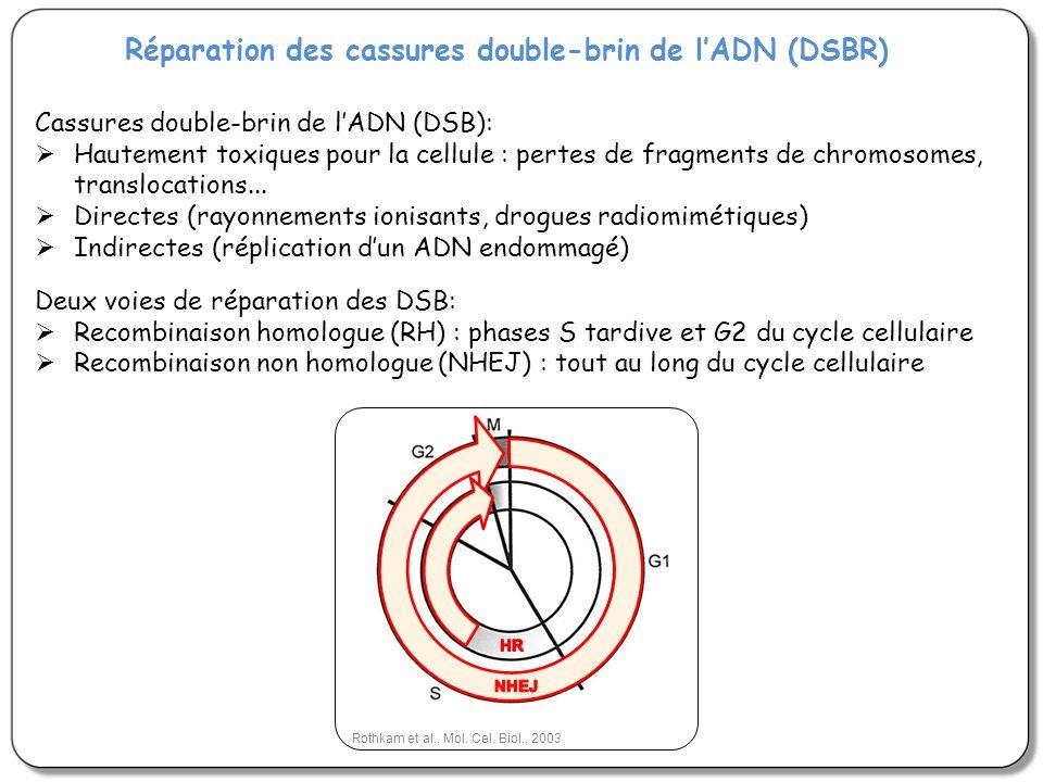 Réparation des cassures double-brin de lADN (DSBR) Cassures double-brin de lADN (DSB): Hautement toxiques pour la cellule : pertes de fragments de chr