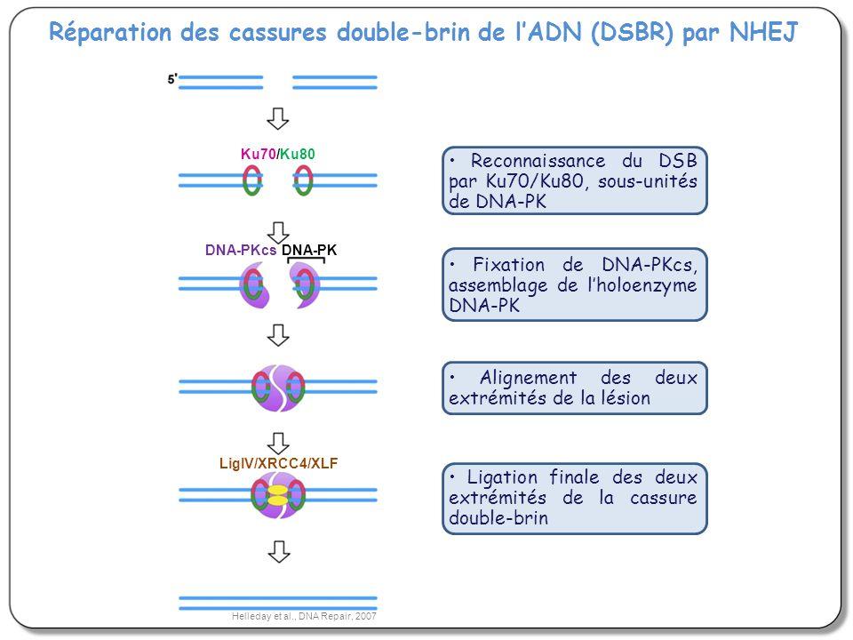 Réparation des cassures double-brin de lADN (DSBR) par NHEJ Reconnaissance du DSB par Ku70/Ku80, sous-unités de DNA-PK Fixation de DNA-PKcs, assemblag