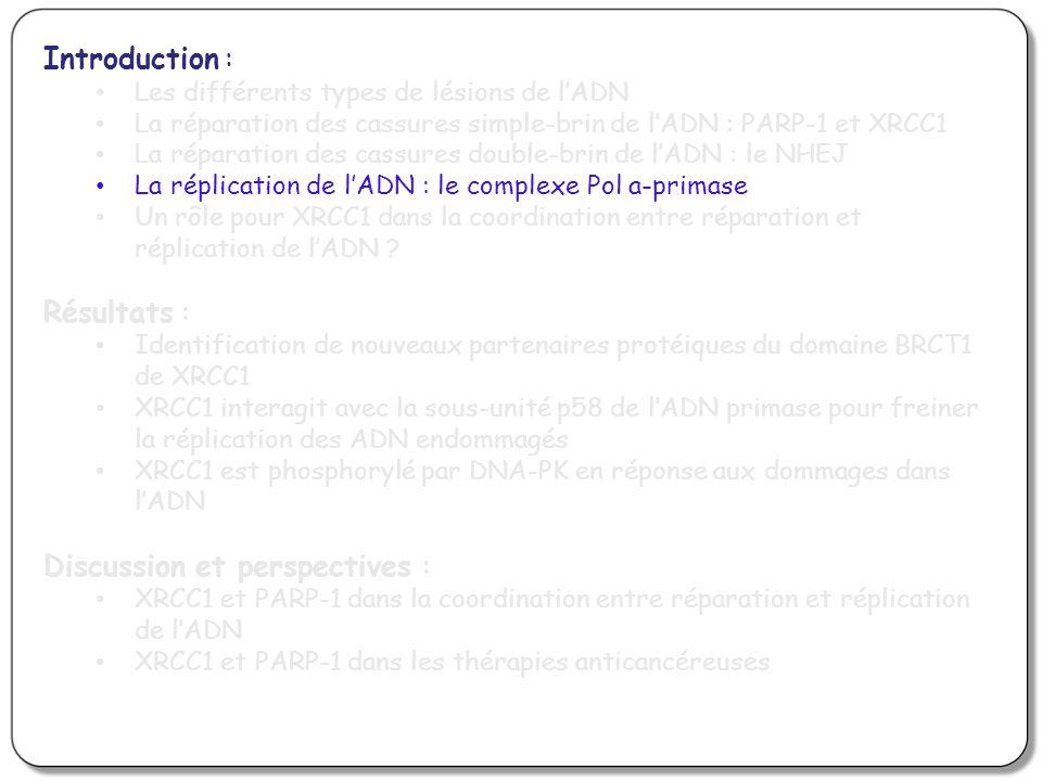 Introduction : Les différents types de lésions de lADN La réparation des cassures simple-brin de lADN : PARP-1 et XRCC1 La réparation des cassures double-brin de lADN : le NHEJ La réplication de lADN : le complexe Pol a-primase Un rôle pour XRCC1 dans la coordination entre réparation et réplication de lADN .