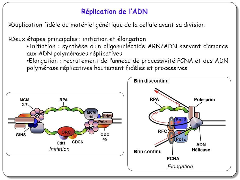 Réplication de lADN Duplication fidèle du matériel génétique de la cellule avant sa division Deux étapes principales : initiation et élongation Initia