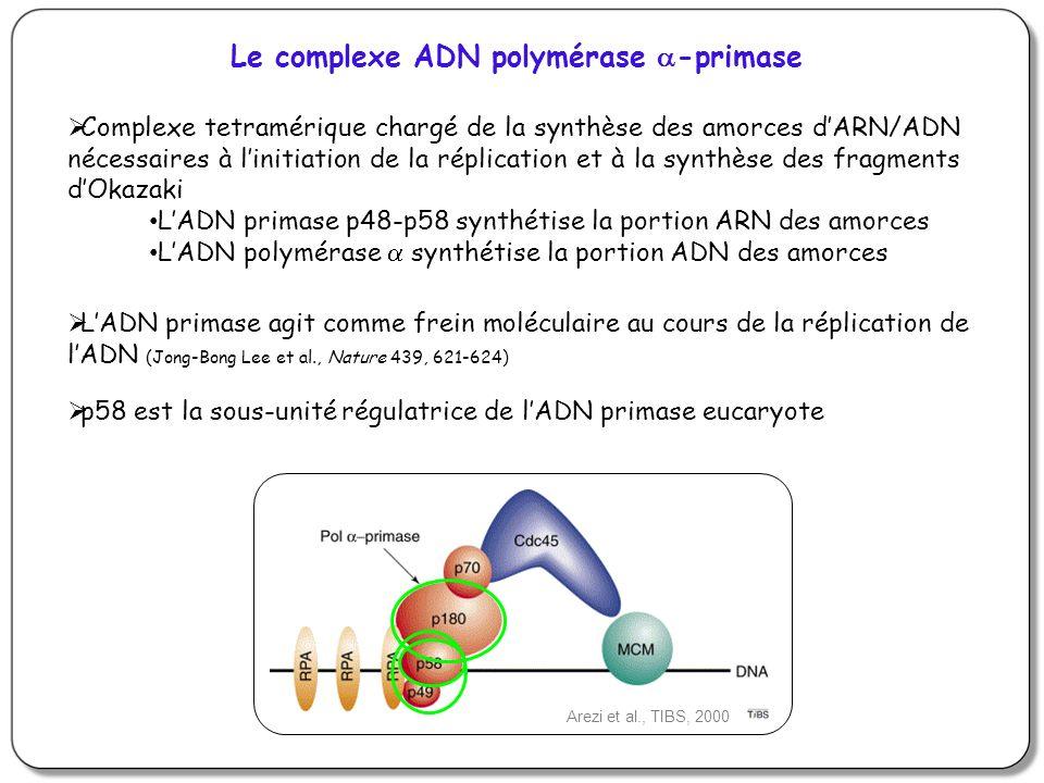 Arezi et al., TIBS, 2000 LADN primase agit comme frein moléculaire au cours de la réplication de lADN (Jong-Bong Lee et al., Nature 439, 621-624) p58 est la sous-unité régulatrice de lADN primase eucaryote Complexe tetramérique chargé de la synthèse des amorces dARN/ADN nécessaires à linitiation de la réplication et à la synthèse des fragments dOkazaki LADN primase p48-p58 synthétise la portion ARN des amorces LADN polymérase synthétise la portion ADN des amorces Le complexe ADN polymérase -primase