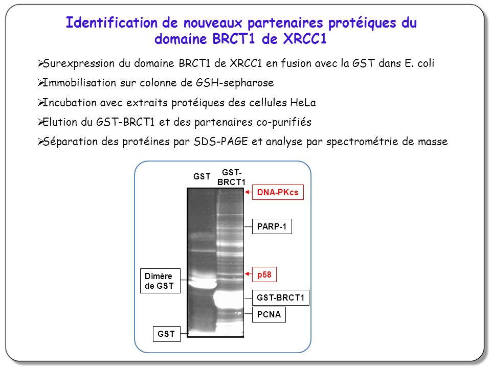 Identification de nouveaux partenaires protéiques du domaine BRCT1 de XRCC1 Surexpression du domaine BRCT1 de XRCC1 en fusion avec la GST dans E. coli
