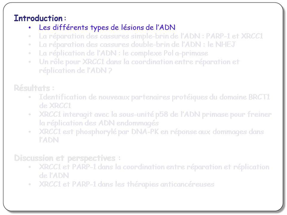 Le mutant S371L de XRCC1 entraîne la persistance de cassures double-brin de lADN EM9 (Déficientes en XRCC1) EM9 XRCC1 wt EM9 XRCC1 S371L NT 1Gy/1H Immunofluorescence: anti- H2AX Foyers H2AX = sites de cassures double-brin de lADN Le mutant non phosphorylable S371L de XRCC1 entraîne une persistance des DBS alors quil est capable de stimuler lactivité kinase de DNA-PK Le dimère XRCC1 est capable de stimuler lactivité kinase de DNA-PK, mais sa dissociation est importante pour la suite du mécanisme de réparation des DSB
