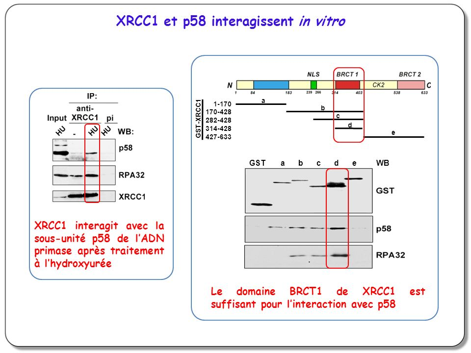 a b c d e GST-XRCC1 1-170 170-428 282-428 314-428 427-633 GST a b c d e WB XRCC1 et p58 interagissent in vitro XRCC1 interagit avec la sous-unité p58 de lADN primase après traitement à lhydroxyurée Le domaine BRCT1 de XRCC1 est suffisant pour linteraction avec p58