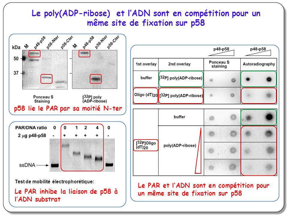 Le poly(ADP-ribose) et lADN sont en compétition pour un même site de fixation sur p58 Test de mobilité électrophorétique: Le PAR et lADN sont en compétition pour un même site de fixation sur p58 Le PAR inhibe la liaison de p58 à lADN substrat par sa moitié N-ter p58 lie le PAR