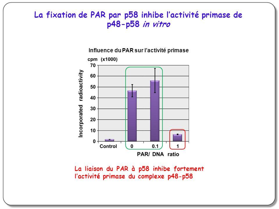 Influence du PAR sur lactivité primase La fixation de PAR par p58 inhibe lactivité primase de p48-p58 in vitro La liaison du PAR à p58 inhibe fortement lactivité primase du complexe p48-p58